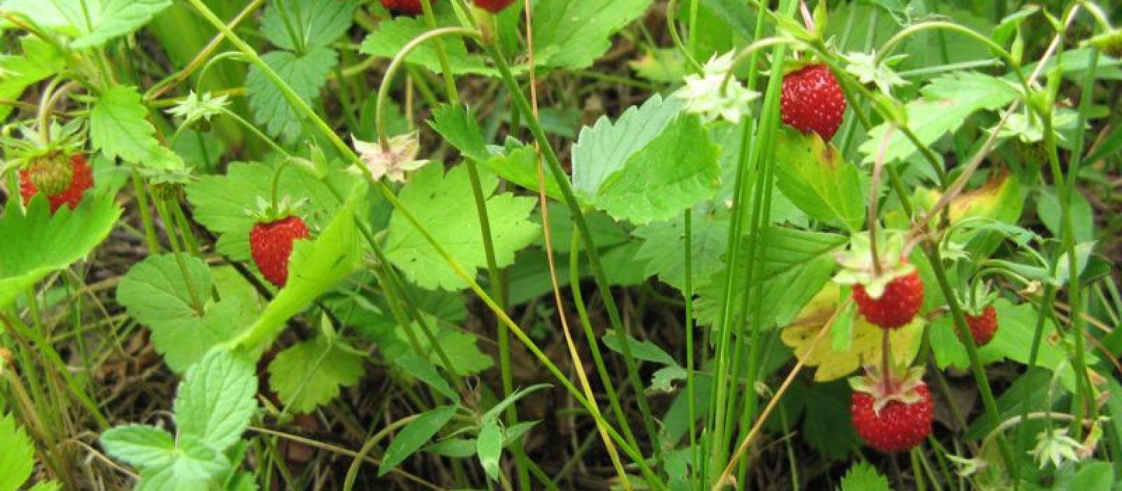 Miris šumskih jagoda